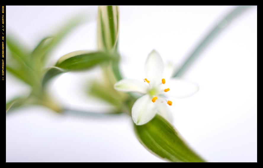 Meine Chlorophytum Comosum Variegatum hat heute angefangen zu blühen ...
